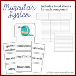 Anatomy Lapbook: Muscular System